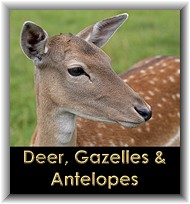 Deer, Antelopes & Gazelles