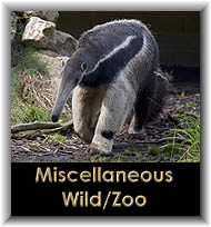 Miscellaneous Wild/Zoo Mammals