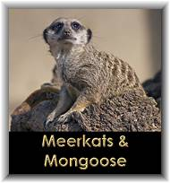 Meerkats & Mongoose